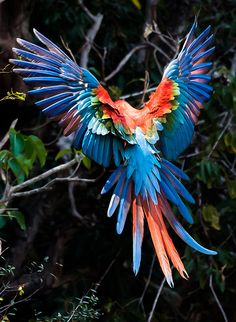 Green-winged Macaw (Ara chloropterus), also known as the Red-and-green Macaw - landing