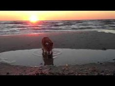 Happiness is your Corgi at the beach with you at Sunset!  Cape San Blas Fl has beautiful pet friendly beaches!    www.TheCapeEscape.com