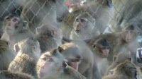 """""""O GRITO DO BICHO"""": Autoridades da Tailândia realocam macacos para aca..."""