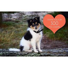 Thank u so so so much for 300 followers! ☺️ #sheltiemilou