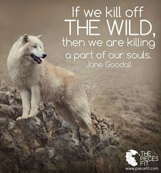 If we kill off THE WILD, then we are killing a part of our souls ~ Jane Goodall. Jane Goodall, Wolf Qoutes, Nature Sauvage, Wolf Spirit Animal, Wolf Wallpaper, Wolf Love, She Wolf, Beautiful Wolves, Warrior Quotes