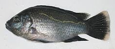 R AquaFarms Inc. They send small orders of tilapia hatchlings for starting the aqua culture