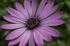 The African Daisy is in full bloom in the Temperate House here at the Missouri Botanical Garden