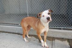 URGENT - DEATH ROW DOG  Brooklyn Center - NYC    My name is BETH. My Animal ID # is A0927096. I am a female tan and white staffordshire mix. The shelter thinks I am about 2 years old.    Beautiful Beth needs us NOW! This petite little Staffie girl finds herself in quite a predicament. She is a little too thin, and was not in the best health when she showed up as a stray. She is sweet and lovely, but that alone won't help her tonight. She will die very early tomorrow morning.