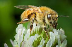 Le proprietà e le controindicazioni del miele di Manuka