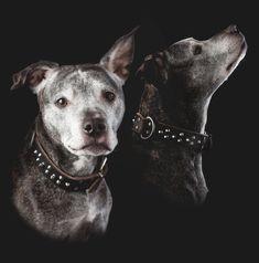 Amerikansk Staffordshire Terrier, også kjent som Amstaff ble dessverre ført opp på forbudslisten over raser vi ikke ønsker i Norge i 2004.     Jeg var så heldig at jeg fikk bli litt kjent med Frøya. Og få mulighet til å ta bilder av henne.     #amstaff #amerikansk staffordshire terrier #fotograf #hundefoto #hundefotografering #hundebilder Staffordshire Terriers, Studio, Pitbulls, Fine Art, Dogs, Animals, Animales, Pit Bulls, Animaux