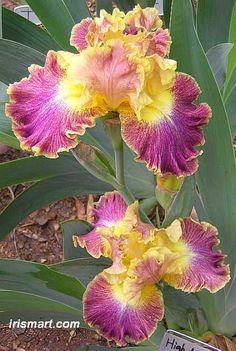 Tall Bearded Iris at Iris Mart Iris Flowers, Flowers Nature, My Flower, Flower Art, Planting Flowers, Beautiful Flowers, Iris For Sale, Bulbous Plants, Bearded Iris