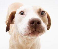 Meet Knox, a Petfinder adoptable Pit Bull Terrier Dog | Decatur, GA | Pet ID: 28251129 Dekalb County Animal Services 845 Camp Rd Decatur, GA 30032