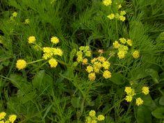 lomatium bradshawii - bradshaws desert parsley  endangered mostly around eugene now native to willamette valley ecoregion