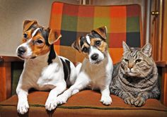 My Jack Russell Terrier, Rocky with his sister Lucy and brother from another mother, Deuce! (High Resolution)