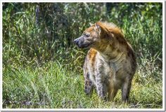 A hyena on the prowl.