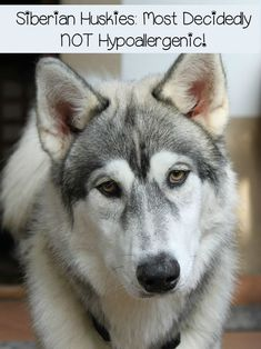 Siberian Huskies are great pets for people without allergies. Siberian Huskies are incredible shedders, so they're not for anyone with dog allergies.