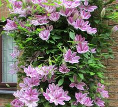 Pink Climbing Flower Potted Plant Seeds easy Balcony Clematis Hybridas 300 particles / bag Soil planted Organic bonsai home *