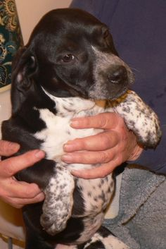 """SHYLA is a 10-week old, 11 lb Bluetick Coonhound mix. Foster mom says """"Shyla is a good name for this shy girl. Is friendly, but she is the one in the litter who hangs back. When she wants to approach, she does a little prancing dance - very cute! A very happy, healthy, playful puppy. Typical puppy who loved to play eat and sleep! Also a little princess who doesn't like getting dirty!""""  Shyla is up to date on vaccines. Visit  WWW.LULUSRESCUE.COM and click on the ADOPT tab to apply!"""