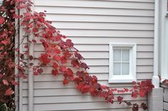 Virginia Creeper at Heide Museum of Modern Art by Chris Samuel