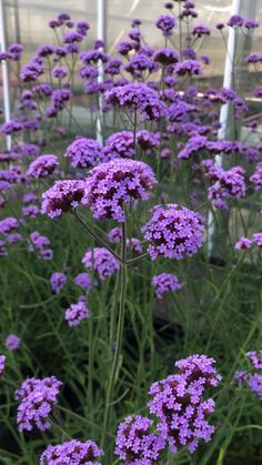 Verbena bonariensis Violetta - a beautiful addition to a her.- Verbena bonariensis Violetta – a beautiful addition to a herbaceous border - Beautiful Flowers Garden, Pretty Flowers, Long Flowers, Autumn Flowers Garden, Trees With Flowers, Purple Flowers, Forest Flowers, Cosmos Flowers, Purple Trees