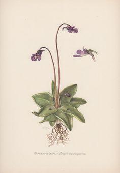 Botanical Print Carnivorous Plant Pinguicula by AntiquePrintGarden