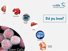 Stem cells can differentiate into specialised cells such as a nerve or heart cell. #DidYouKnow? #StemCells #Facts