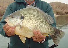 5-pound 12.8-ounce World Record Sunfish - In-Fisherman