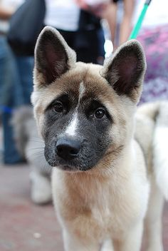 American Akita puppy by amirpaz, via Flickr