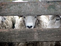 Sheep wait in the yards, one watching my every move.
