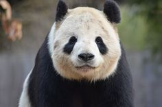 Dan Dan The Binary Man #fotografia #cina #animali #panda