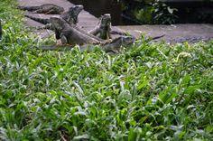 Bali Bird Park - Iguana