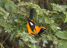 orange-backed troupial (Icterus croconotus) in the Pantanal.
