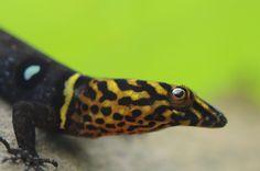 Eyespot Gecko (Gonatodes ocellatus)