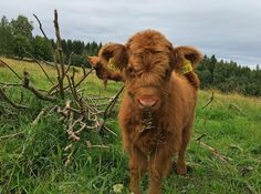 Baby Farm Animals, Baby Cows, Animals And Pets, Cute Animals, Fluffy Cows, Fluffy Animals, Cute Sheep, Cute Cows, Cute Baby Cow