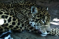 Exotic Leopard Fine Art Photography Seattle WA by TheMagiciansCat, $15.00