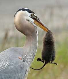 GBH with Muskrat