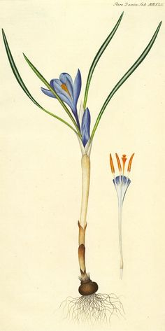 Bonte krokus - Crocus vernus Afmeting: 10 tot 20 cm.  Levensduur: Overblijvend. Geofyt (winterknoppen onder de grond).  Bloeimaanden: Februari, maart en april.   Wortels: Een stengelknol.   Stengels: Een rechtopstaande bloeistengel.   Bladeren: Twee tot vier grondstandige bladen. Deze zijn lijnvormig, 4-9 cm en met een witte middenstreep. Tijdens de bloei zijn ze nog maar half ontwikkeld.   Bloemen: Tweeslachtig (een bloem met zowel mannelijke als vrouwelijke geslachtsorganen). De…