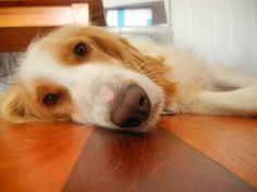 This dog is spoiling a perfect opportunity to show off that classy hardwood floor.