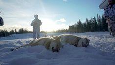 Det er færre ulver og ulvekull i Norge – NRK Hedmark og Oppland – Lokale nyheter, TV og radio Norway, Wolf, Snow, Nature, Outdoor, Outdoors, Naturaleza, Wolves, Outdoor Games