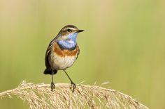 Wakker worden met Europees Vogelconcert. Op zondag 1 mei 2016 laat het VARA-radioprogramma Vroege Vogels de luisteraars wakker worden met het gezang van zoveel mogelijk Europese vogels.