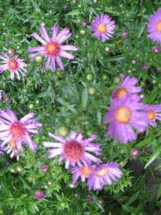 Image result for michaelmas daisies for zone 6a