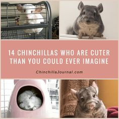 14 Chinchillas Who Are Cuter Than You Could Ever Imagine