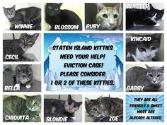 Staten Island Kitties need your help! Eviction case! Please consider 1 or 2 of these kitties. AC&C NYC - Currently has an eviction case coming in. We have taken in 13 cats so far & another 20 expected. This will overload the tiny shelter. They are ALL Friendly & Sweet – Rated Green by medical! Most are already altered.  https://www.facebook.com/nycurgentcats/photos/a.272068636144464.70945.220724831278845/918599004824754/?type=3&theater