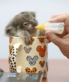 OMG I need a baby koala right now! Koala in a tea cup: Raymond, an adorable little guy was found abandoned beside a road in Brisbane, Australia Baby Koala, Baby Baby, Baby Otters, Cute Baby Animals, Funny Animals, Wild Animals, Crazy Animals, Animal Babies, Small Animals