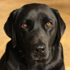 Black labs with this eye color have my heart.
