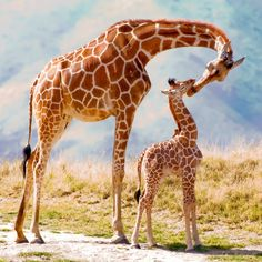 Living Desert Zoo and Gardens, Palm Desert, Riverside, California. Baby giraffe was only a week old. The Kiss by Betty McCalley