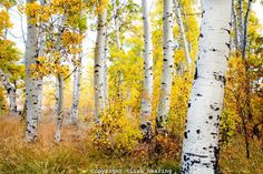 ***Aspens in autumn (Inyo National Forest, California) by Lisa Dearing Watercolor Trees, Watercolor Landscape, Landscape Paintings, Pictures To Paint, Art Pictures, Pretty Pictures, Birch Tree Art, Aspen Trees, Nature Tree