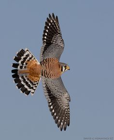 libutron:  Beautiful symmetry A young male American Kestrel, Falco sparverius (Falconidae), in flight and showing the splendid symmetry of its plumage. Photo credit: ©David G. Hemmings | Locality: unknown (2009)