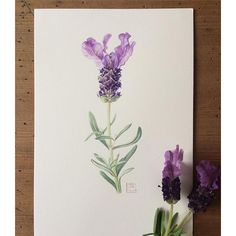 SnapWidget | Another quick lavender sketch, this time on my favourite Fabriano Artistico paper. But now I'm confused... is it because I'm more familiar with the subject that the paint is going on easier, or is it because the paper is better? I will have to paint another