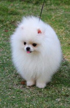 Szpic miniaturowy / Pomeranian