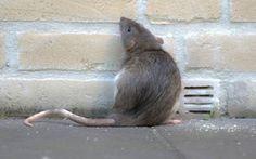 Rat Exterminator - How To Get Rid Of Rats