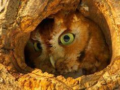 Eastern Screech Owl in the tree hollow Pinned by www.myowlbarn.com