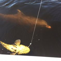 Dolphin taking a close up look at a #goliathgrouper on a recent trip!   Photos for Big Bully Outdoors   Yelp