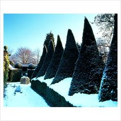 Clipped Taxus (yews)